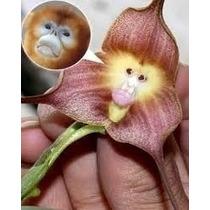Orquídea Cara De Macaco Exótica- 10 Sementes