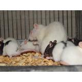 Ratas Americanas O De Laboratorio,raton, Lauchas,mamones