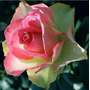 Pink And Green Rose (10 Semillas)