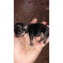 Chihuahuas Bebes.