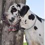 Gran Danés Cachorro Solo Queda Uno Linea Europea