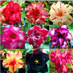 10 Sementes Bonsais De Rosas Do Deserto V. Cores P/ Mudas***