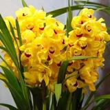 10 Semente Orquídea Cymbidium Amarela Linda Planta Rosa