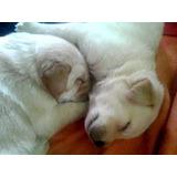 Animales Y Mascotas.vendo Cachorros De Labrador Vacunas Y De