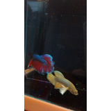 Betta Dumbo