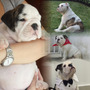 Cachorros Bulldog Ingles Con Pedigree
