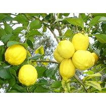 Arbol Limon Eureka ( Arbol ) Injertada 2.50 M-3 M Df-estado