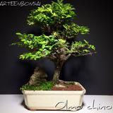 Arteenbonsai Ficus Olmo Chino Ginkgo Biloba Olivo Moneda