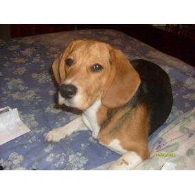 Servicio Beagle Macho Puro
