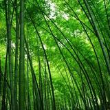 100 Sementes Bambu Phyllostachys Pubescens Planta Gramas