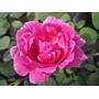 Rosal Rosa Con Rayas Blancas Despacho Gratis