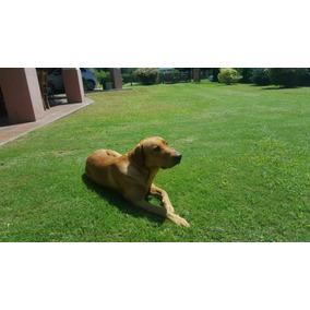 Labrador Macho Puro Para Cruza ..dorado.hermoso.