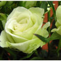 Green Rose (10 Semillas)