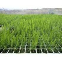 10 Plantitas Vivero Esparrago Comestible Cultivo Organico
