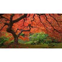 Acer Palmatum Japonês Sementes Para Mudas Ou Bonsai + Brinde