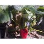 Plantas De Frutilla, (con Flor Y Fruto)