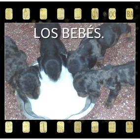Cachorros Salchicha ( Mini ) Super Mini-mini !!!