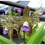 Muda Orquídea Cattleya Guttata Coerulea `z´ X Coerulea `keko