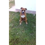 Perro Boxer Para Monta En Aragua