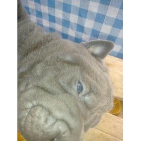 Macho De Shar Pei Azul