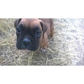 Excelentes Cachorros Boxer Padres Con Registro Internacional