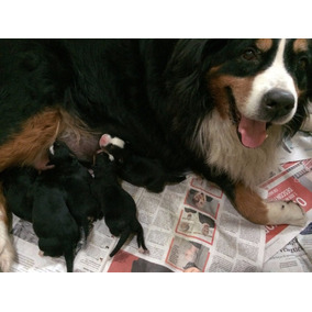 Lindos Filhotes De Bernese Mountain Dog C/ Pedigree E Chip