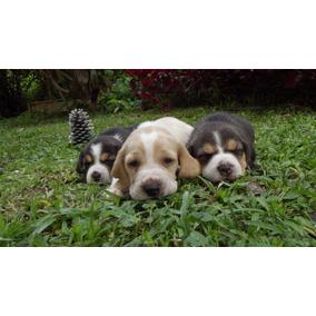 Beagle Filhotes Machinho Bicolores ...