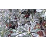 Planta De Cerco Pitosporum 10 X 700