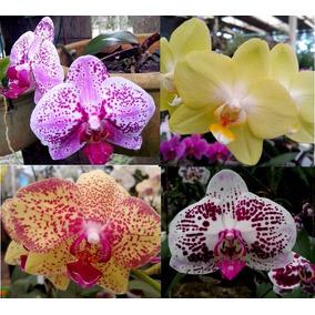 Orquídea Phalaenopsis 10 Plantas Por R$ 99,99
