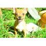Chihuahua Mini Machito Fca