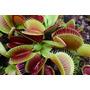 Planta Carnívora Dionaea Muscipula (venus Flytrap) Mediana