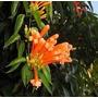 Venusta, Bignonia:planta Trepadora 1,50 M.