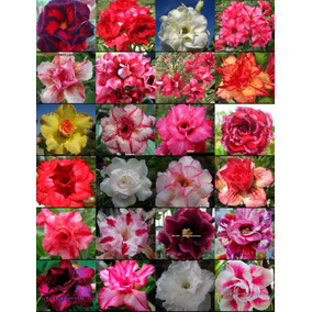 Kit 20 Sementes Rosa Do Deserto Adenium Obesum Mix 20 Cores