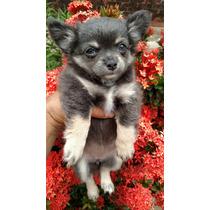 Chihuahua Fêmea Pelo Longo Azul And Tam