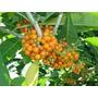 Muda De Fruta De Sabiá Atrai 50 Variedades De Pássaros/aves