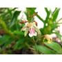 Orquídea- Oeceoclades Maculata