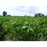 Plantas De Limon Persa