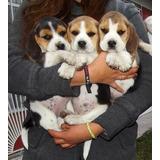 Hermosos Cachorros Beagle Tricolor Pequeños