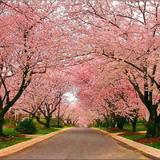 Cerejeira Japonesa - P. Serrulata - Muda De 1mt