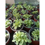 Plantas De Stevia Orgánicas Hechas De Semillas