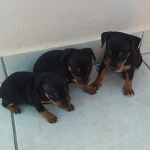 Vendo Três Linda Fêmeas De Pinscher N1.cada Uma Por 200,00