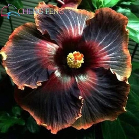 10 Sementes De Hibisco Negro Rosa Louca