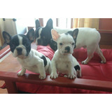 Cachorros De Bulldog Frances Fca - Ecxelentes Pedigri