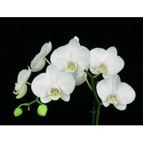 10 Sementes De Orquídea Borboleta Azul Rosa Branca Vermelha