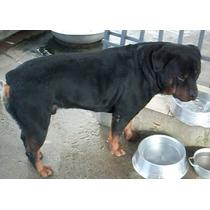 Rottweiler Com Pedigree, Disponível Para Cruza (padreador)