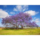 Plantín Jacarandá Mimosifolia Árbol Nativo Argentino