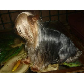 Yorkshire Terrier Semental Yorkie Exposicion Iphone R1 Cbr