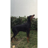 Doberman Macho Busco Novia