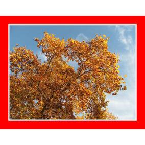 Plátano Platanus - Árvore Bonsai Sementes Para Mudas