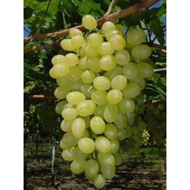 Uva Thompson ( Planta ) 80 Cm-1 Mtr Uva Blanca Sin Semilla